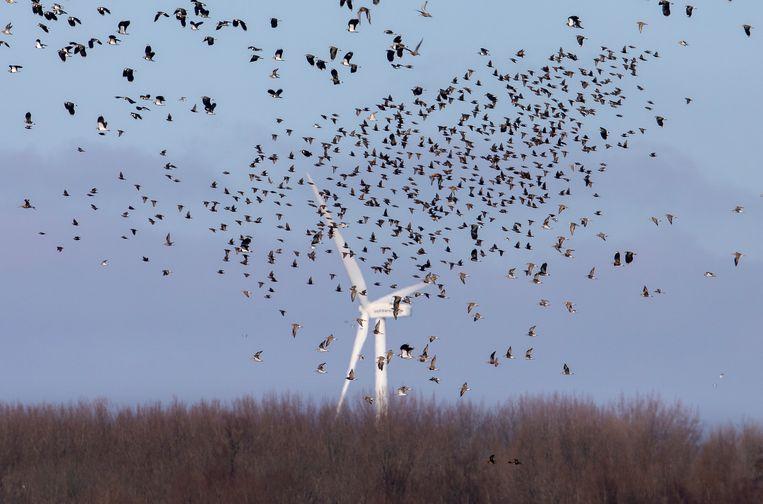 Een groep vogels boven de polder Arkemheen, een natuurgebied. Op de achtergrond een windmolen in Flevoland. Beeld Sijmen Hendriks / HH
