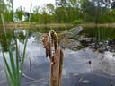 Grenspark De Zoom-Kalmthoutse Heide kent een rijke flora en fauna, onder meer veel insectensoorten zoals deze viervleklibel.
