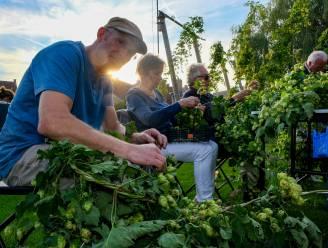 Hopplukkers plukken eerste succesvolle oogst in abdijtuin