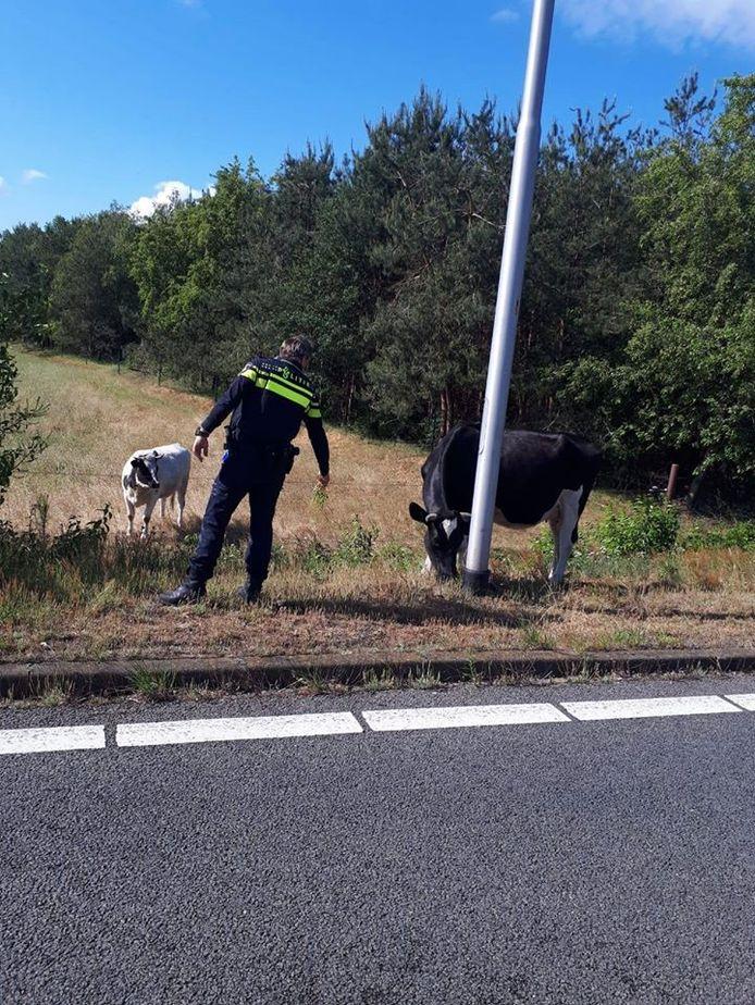 De koe kwam er met een waarschuwing vanaf.