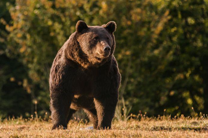 Arthur, un ours brun de 17 ans qui vivait dans une zone protégée des Carpates