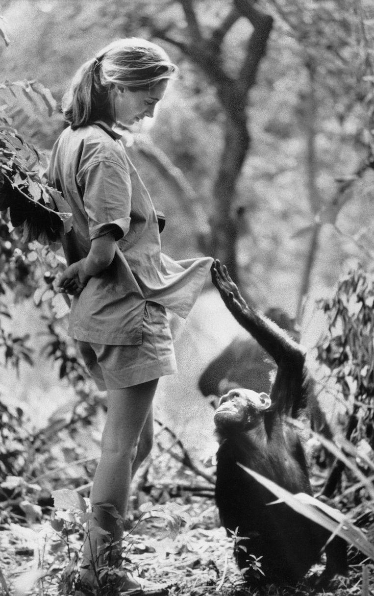 Jane Goodall in het Gombe National Park, in 1972. Beeld © Bettmann/CORBIS
