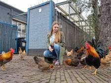De kippen in de Binckhorst hebben steeds minder plek: 'Elke hoek heeft zijn eigen kippengroep'