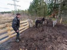 Ezels op De Sprankel leveren al etende een bijdrage aan de biodiversiteit in Veldhoven