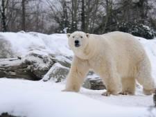 Hoe nu verder met Diergaarde Blijdorp? 'Het geluk van ijsbeer Wolodja in de sneeuw laat ons nadenken'