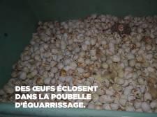 La face cachée du foie gras: le sort de milliers de canetons jetés à la poubelle ou mutilés