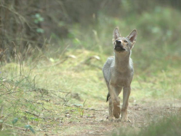 EXCLUSIEF | Unieke beelden van de wolf op de Veluwe!