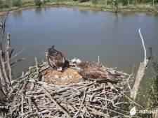 Boswachters lyrisch over eerste ei van webcam-visarend: 'Er begint een fantastische tijd op het nest'