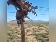 Il aide un ours en détresse à redescendre d'un poteau électrique