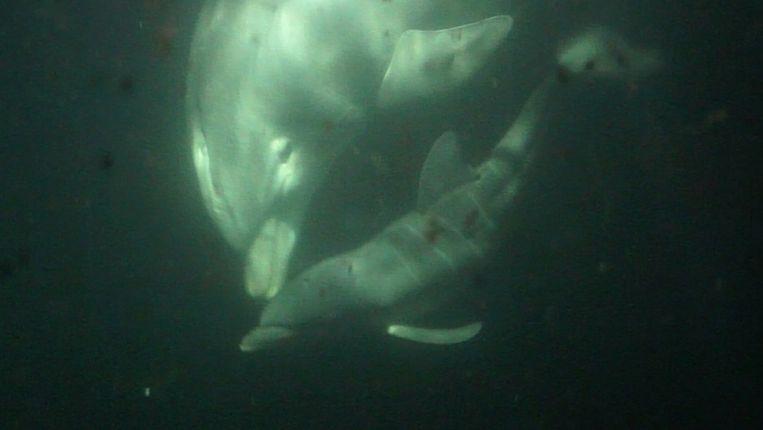 Een pasgeboren dolfijntje zwemt bij moeder Molly Beeld anp