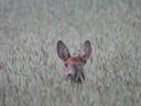 Een reekalfje verstopt zich in het hoge gras.