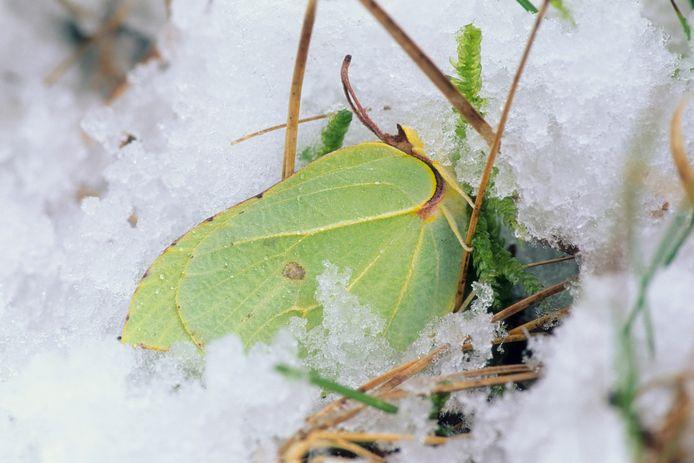 Een citroenvlinder trotseert de vrieskou. Deze soort maakt 'natuurlijke antivries' aan en verschuilt zich bij lage temperaturen in klimop of in een holle boom.