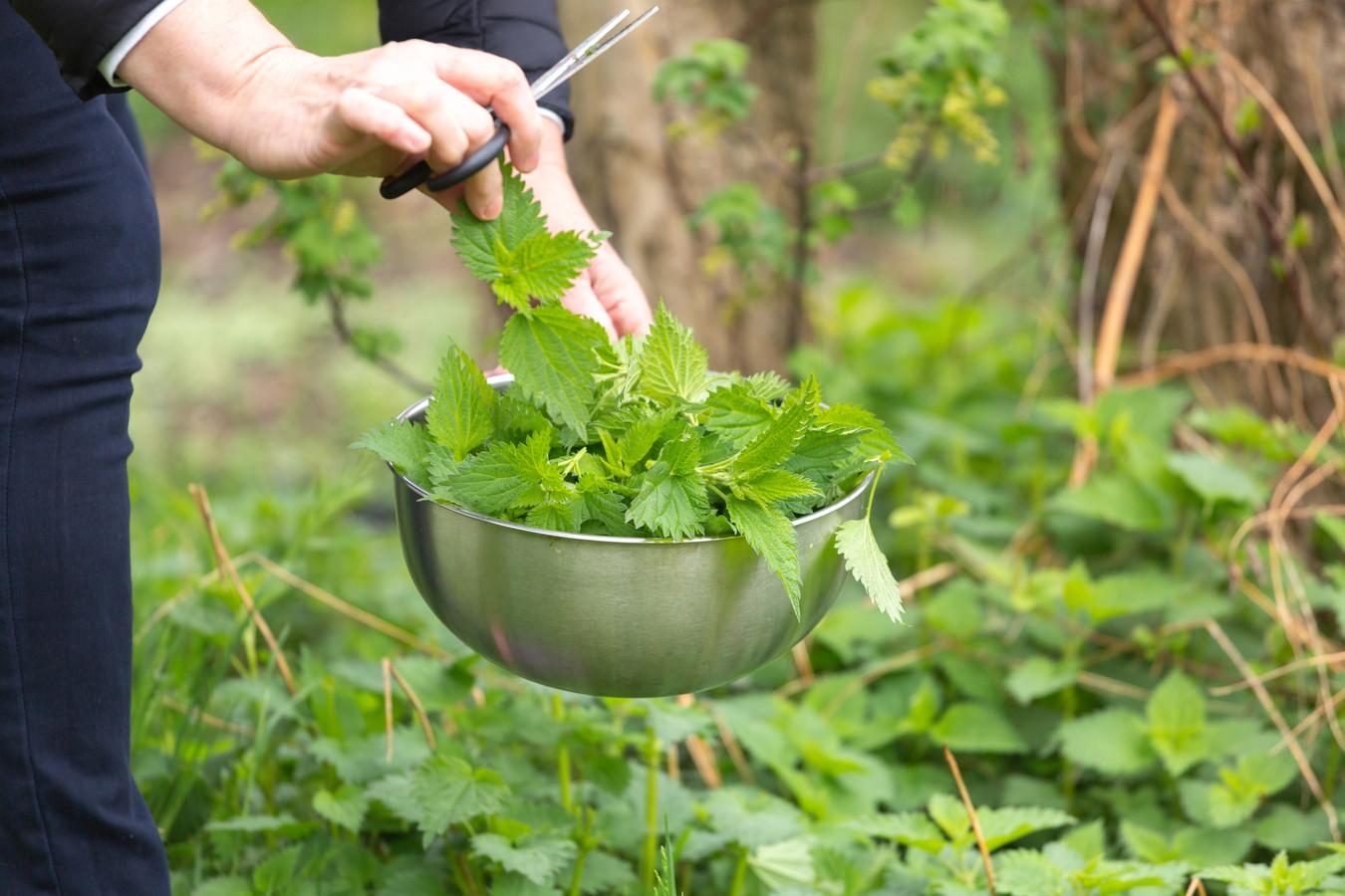 """Onkruid zorgt niet alleen voor kommer en kwel in je tuin: er bestaan ook nuttige soorten. """"Brandnetels halen bijvoorbeeld veel stikstof uit de grond"""", zegt Marc."""