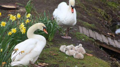 Dieven gaan aan de haal met minstens 25 zwaneneieren in Brugge