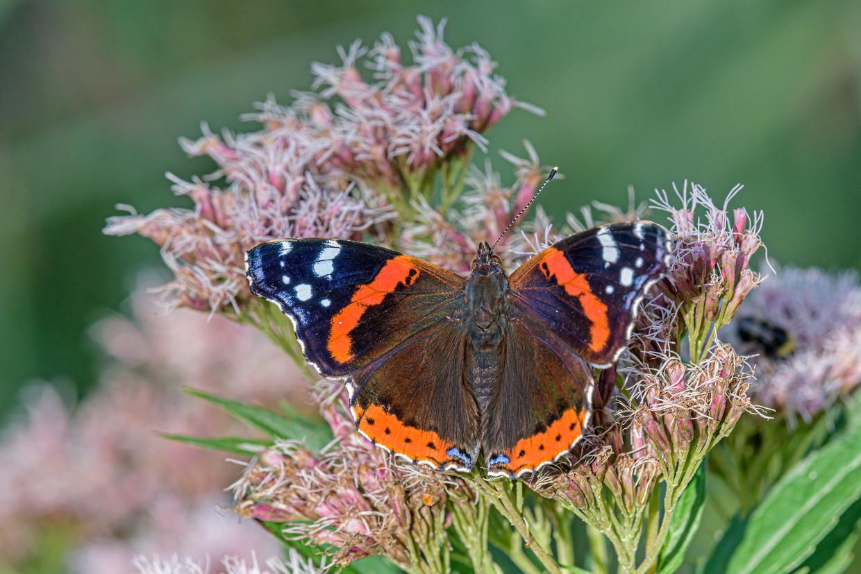 De atalanta bleek de meest voorkomende vlinder, met 14.595 tellingen. Beeld Getty Images/500px