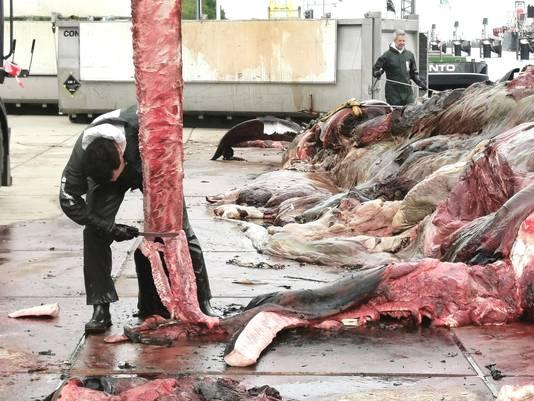 De onderkaak van de vinvis wordt van vlees ontdaan.