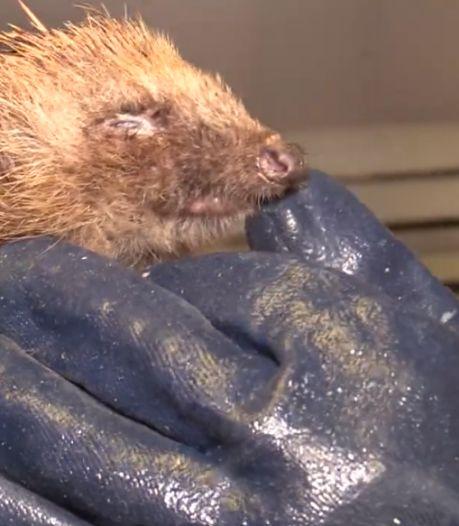 Mysterieuze ziekte treft Brabantse egels: 'Zestig procent overleeft het niet'