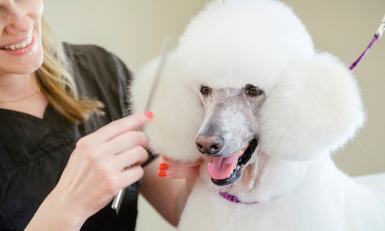 A professional dog groomer finishes the grooming on a large standard poodle. The dog is standing on a grooming table, inside a pet grooming business while the smiling woman groomer combs the animal's hair.
