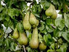 Perenboomgaard moet duizenden liters sap kwijt