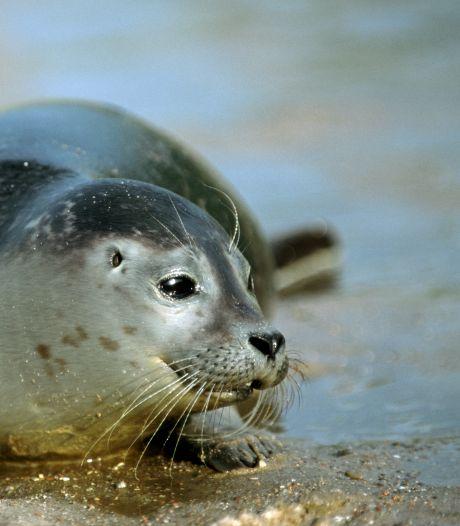Het mysterie van de verdwenen zeehonden op de Maasvlakte