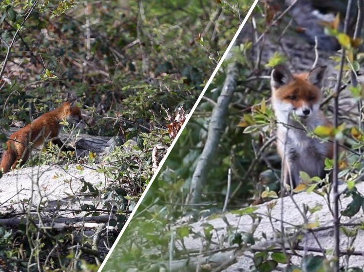 Babyvosjes in Haagse bos trekken veel bekijks