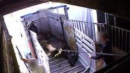 VIDEO. Vlees uit Duits horror-slachthuis ook in Belgische supermarkten?
