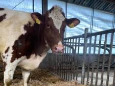 De zeldzame drieling van koe Jannie op zorgboerderij in Mariënheem maakt het goed