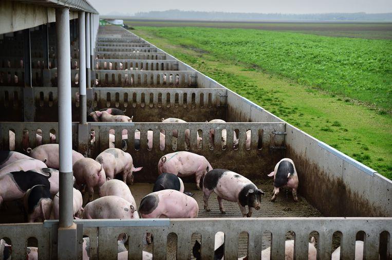 Bij de varkenshouderij van familie Ten Have in Beerta, Oost-Groningen, hebben de varkens hun staart nog.  Beeld Marcel van den Bergh