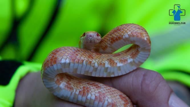 Dit is de slang die bij Middelburgse Maria in bed kroop (en nu weer slaapt waar het dier hoort)