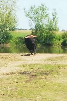 Een knal, nog een knal en nog één: NVWA onderzoekt mogelijke misstanden grote grazers na filmbeelden