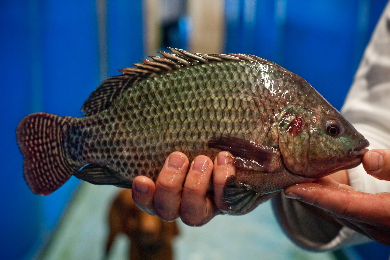 Twentevis kweekt onder andere Talapiavissen