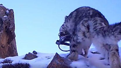 VIDEO: hartverscheurende beelden tonen sneeuwluipaard dat vastzit in klem