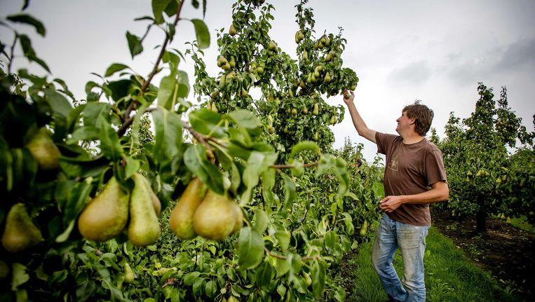 Nederlandse peren, de fruitteelt in Nederland wordt hard geraakt door de boycot. Beeld epa