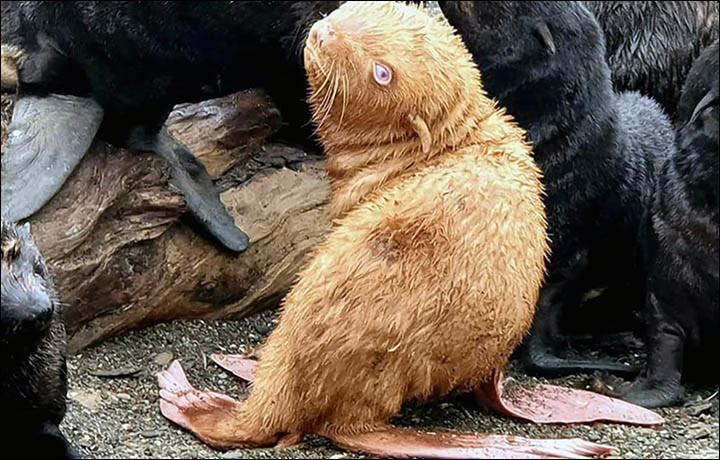 De kans dat het albino zeehondje door de kolonie wordt verstoten is groot.