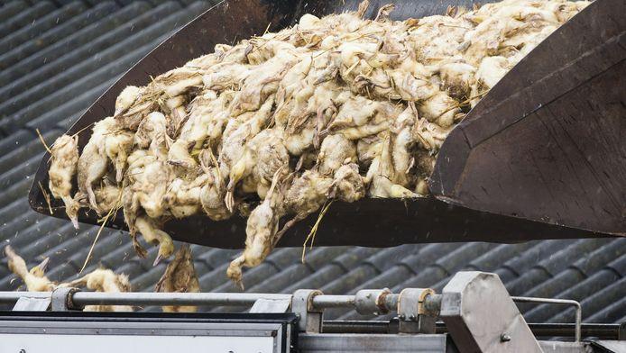 Bij het eendenbedrijf in Kamperveen werden ruim 15.000 eenden geruimd