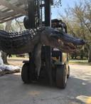 Een maagonderzoek bij een enorme alligator in de Amerikaanse staat South Carolina heeft intrigerende vondsten opgeleverd.