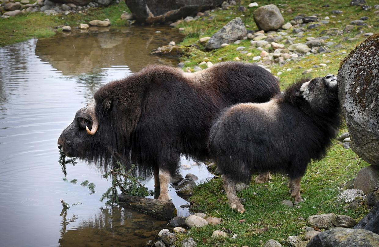 Muskusossen tijdens hun laatste dag in dierentuin GaiaZoo in Kerkrade. Ze verhuizen naar Tsjechië omdat ze niet goed kunnen aarden in Nederland.  Beeld Marcel van den Bergh / de Volkskrant