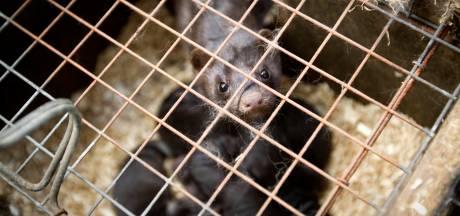Weer nertsenbedrijf met corona in Gemert, 7000 dieren zo snel mogelijk geruimd
