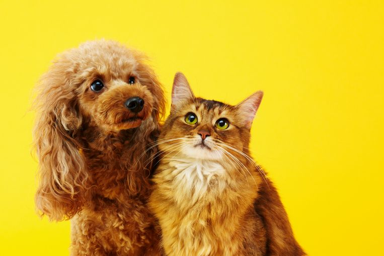 Miniature poodle and Somali cat Beeld Getty Images