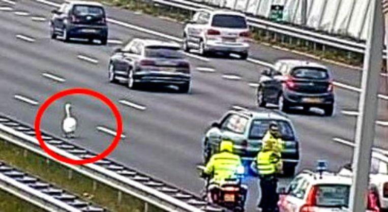 Een zwaan op de weg bij een eerder incident.