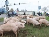 Lieke zag vrachtwagen vol varkens kantelen in Den Bosch: 'Dat gegil vergeet ik niet snel meer'