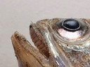 In de mond van deze kleine pieterman zie je een isopode zitten, een soort pissebed. Hij vult de hele mond en zit op het verhemelte van de vis.