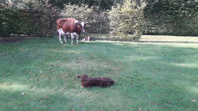 Een boer uit Beltrum kreeg na vermissing van een koe er drie terug.