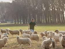 Deze schapen vervangen de grasmaaier in Zutphense woonwijken