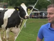 Video van de Dag | Zeeuwse voetballers nemen afschijt van natuurgras met koeienbingo