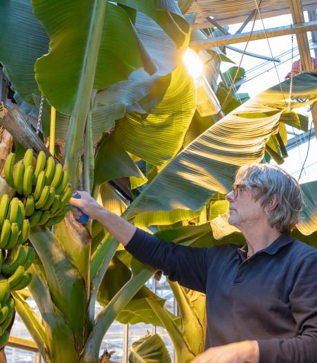 Nederlandse banaan moet boeren elders gaan redden