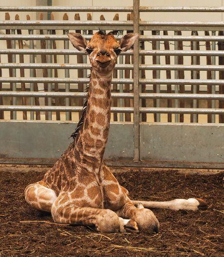 Babynieuws in de Beekse Bergen: jong van zeer bedreigde giraffensoort geboren