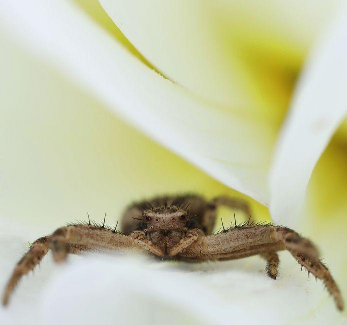 Macrofoto van een krabspin in een witte dahlia.