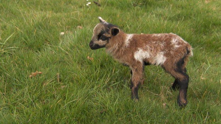 Gaap, met een geitenvader en een schapenmoeder. Beeld