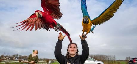 Marknesser vogelliefhebster traint vogels in IJssellandschap
